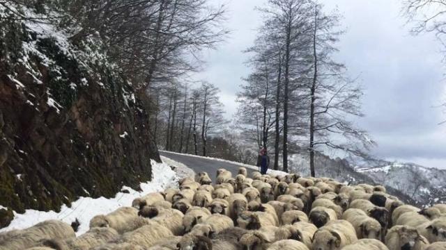 Çobanların Yayladan Dönüşü Sürüyor